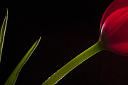 Flower Fine Art Photography Prints - Tulip on Black Print by Andrew Soundarajan