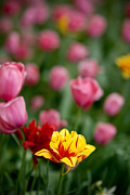 Petal Metal Prints - Tulips Metal Print by Amy Cicconi