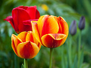Warm Colors Photos - Tulips by Davorin Mance