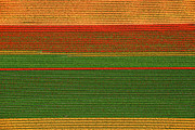 Agronomy Photos - Tulips Fields, Lisse by Bram van de Biezen