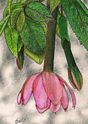 Color Pencil Drawings - Tumbo Blossom by Lew Davis