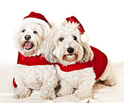 Christmas Dogs Posters - Two cute dogs in santa outfits Poster by Elena Elisseeva