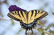 Two  Tailed Swallowtail Print by Kathy Gibbons