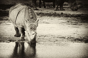 Nick  Biemans - Two White Rhinos