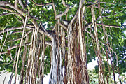 Banyan Tree Framed Prints - Upside Down  Framed Print by Douglas Barnard