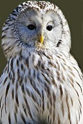 Paulette Thomas Photography Prints - Ural Owl Print by Paulette  Thomas
