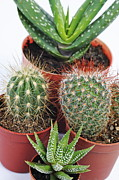 Sami Sarkis Framed Prints - Varied mini cactus in pots Framed Print by Sami Sarkis