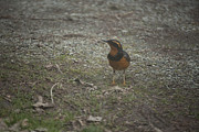 Graham Photo Originals - Varied Thrush by Graham Foulkes
