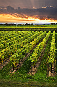 Grape Vineyard Photo Posters - Vineyard at sunset Poster by Elena Elisseeva