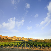 Grapevines Photo Posters - Vineyard in Canterbury New Zealand Poster by Colin and Linda McKie