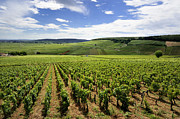 Vineyard Landscape Framed Prints - Vineyard of Cotes de Beaune. Cote dOr. Burgundy. France. Europe Framed Print by Bernard Jaubert