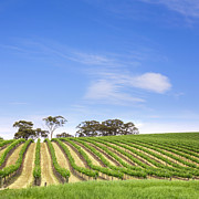 Vineyard Landscape Art - Vineyard South Australia Square by Colin and Linda McKie
