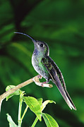 Woodland Violet Photos - Violet Sabre-wing Hummingbird by Michael and Patricia Fogden