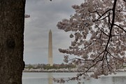 Sightseeing Prints - Washington Monument - Cherry Blossoms - Washington DC - 011314 Print by DC Photographer