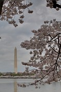 Jefferson Prints - Washington Monument - Cherry Blossoms - Washington DC - 011315 Print by DC Photographer