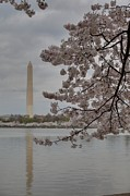 Spring Photo Prints - Washington Monument - Cherry Blossoms - Washington DC - 011316 Print by DC Photographer