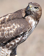 Red Tail Hawk Art - Watchful Hawk by Amara Roberts