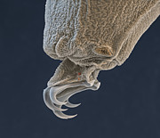 Eye of Science and Science Source - Water Bear Leg