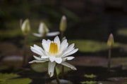 Charles Warren - Water Lilly 6