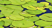 Lilly Pads Framed Prints - Water Lilly Framed Print by David Letts