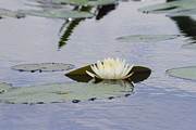 Cathy Lindsey - Water Lily 3