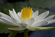 Water Lillies Prints - Water Lily Print by Heiko Koehrer-Wagner