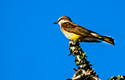 Tyrant Metal Prints - Western Kingbird Metal Print by Robert Bales