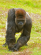 Jacksonville Framed Prints - Western Lowland Gorilla Male Framed Print by Millard H. Sharp