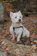 Westie Photos - Westie by Catherine Reusch  Daley