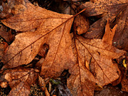 Forest Floor Posters - Wet Leaves Poster by Robert Ball