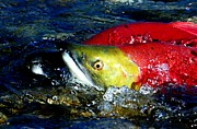 Salmon Photos - What a Pair by Don Mann