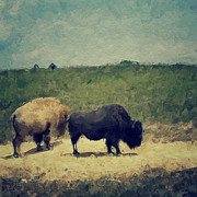 Meadow Digital Art - White and Black buffalo by Amy Cicconi