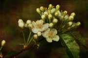 Flower Buds Prints - White Blossoms Print by Cindi Ressler