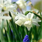 White Daffodil  Print by Tommy Hammarsten