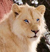 Les Palenik - White lion with blue eyes