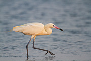 White Morph Prints - White Morph Redish Egret Print by Doug Lloyd