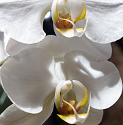 Barbara Middleton Prints - White Orchids Print by Barbara Middleton