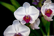 Orchids - White Orchids by Glenn Franco Simmons