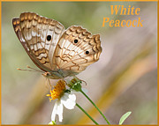 April Wietrecki - White Peacock Butterfly