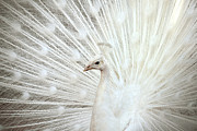 Brandon Alms - White Peacock With...