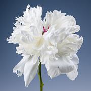 White Peony Flower Print by Elena Elisseeva