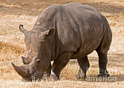Rhinoceros Framed Prints - White Rhinoceros Framed Print by Millard H. Sharp