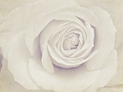 Bloom Digital Art Posters - White Rose Poster by Diana Kraleva