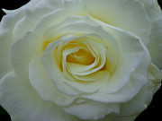 White Rose Print by Eva Ason