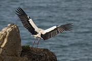 Alentejo Photos - White stork landing by Ruben Vicente