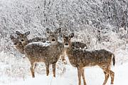 White-tailed Deer  Print by Linda Freshwaters Arndt