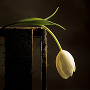 Blossoming Prints - White tulip Print by Bernard Jaubert