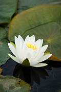 Nymphaea Plants Posters - White Water Lily Poster by Matt Dobson