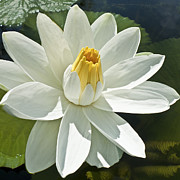 Water Lily Photos - White Water Lily - Nymphaea by Heiko Koehrer-Wagner