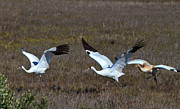 Wildlife Refuge Photos - Whooping Cranes by Louise Heusinkveld